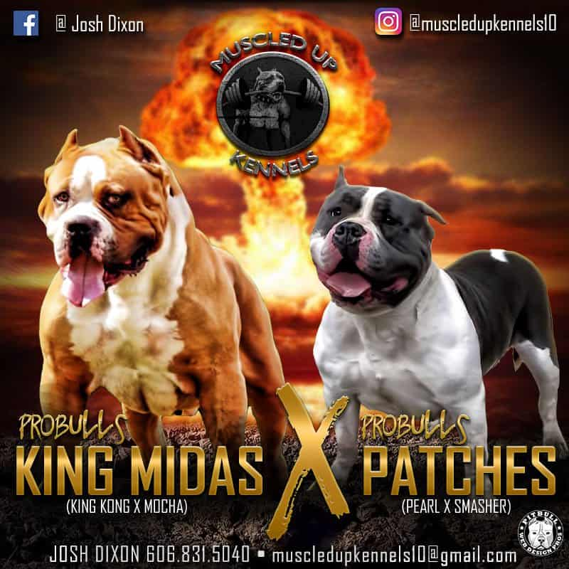 graphic designs for pitbulls  u0026 bullies  web flyers  breeding banners  stud service