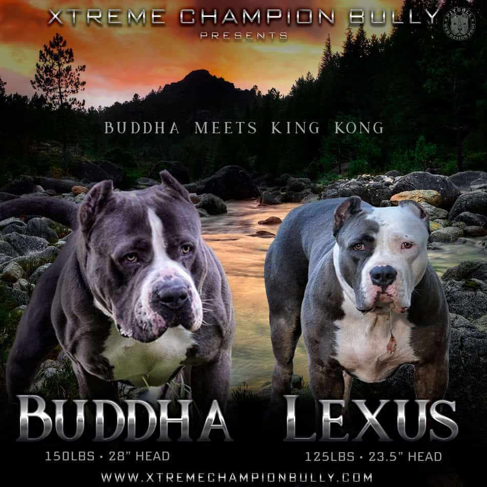 Graphic Designs For Pitbulls Amp Bullies Web Flyers